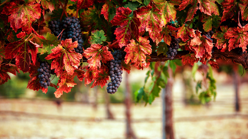 Grapes with red leaves