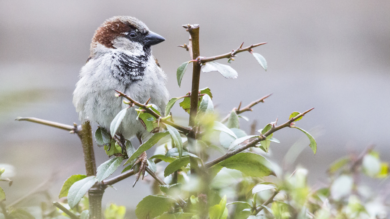 A house sparrow perched.