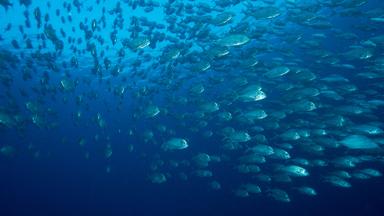 A school of tuna.