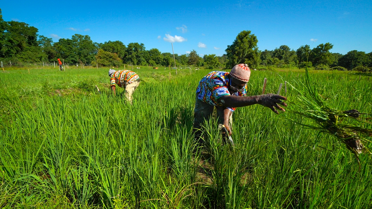African Rice Farmers.