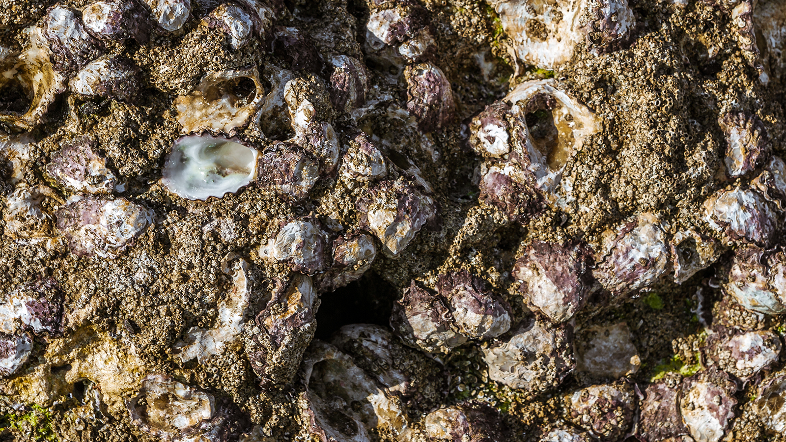 A pile of wild oysters.